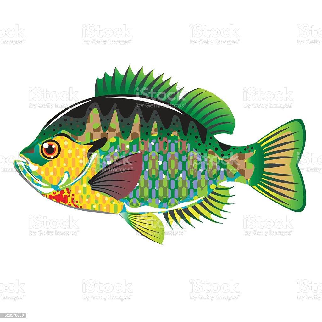 Bluegill Panfish Vector vector art illustration