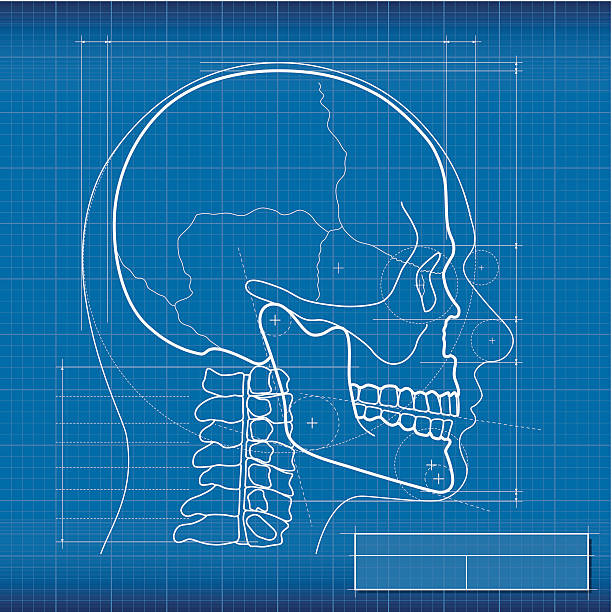 Blueprint, skull Blueprint skull, made in Adobe Illustrator (vector). human jaw bone stock illustrations