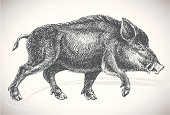 Vector hand drawn boar - animal side view. Originally drawn with paper and ink. Classic / traditional art style. Black silhouette isolated on white background. Great decoration design element.