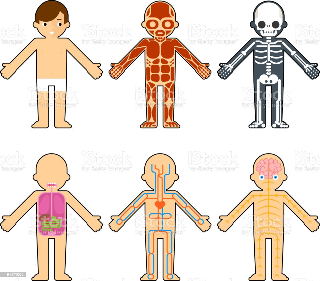Body Anatomy For Kids Stock Vector Art More Images Of 2015