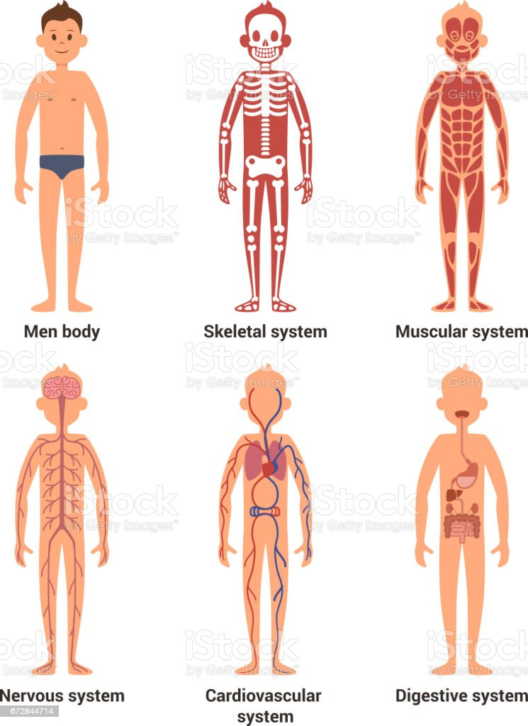 Body Anatomy Of Men Nerves And Muscular Systems Heart And Other