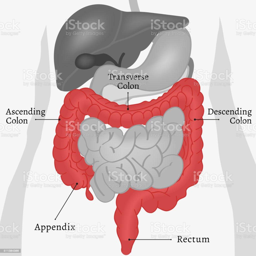 Körper Internen Teilen Stock Vektor Art und mehr Bilder von Anatomie ...
