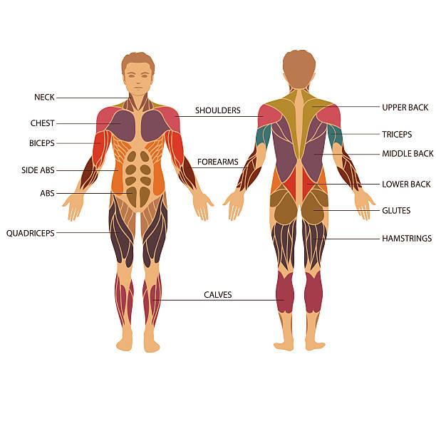 ilustrações de stock, clip art, desenhos animados e ícones de corpo, músculo - tronco nu