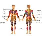 body, muscle