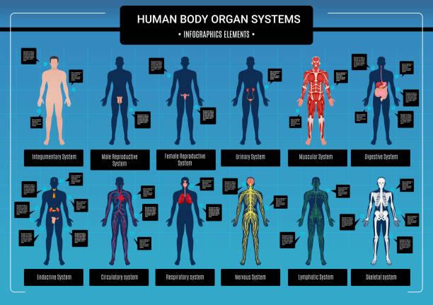 infografiken des organsystems - keks grafiken stock-grafiken, -clipart, -cartoons und -symbole