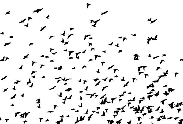 Bohemian waxwing (Bombycilla garrulus) in flight Bohemian waxwing (Bombycilla garrulus) in flight. Vector silhouette a flock of birds bird silhouettes stock illustrations