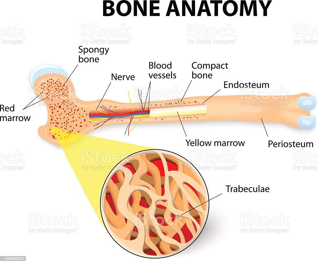 bone anatomy vector art illustration