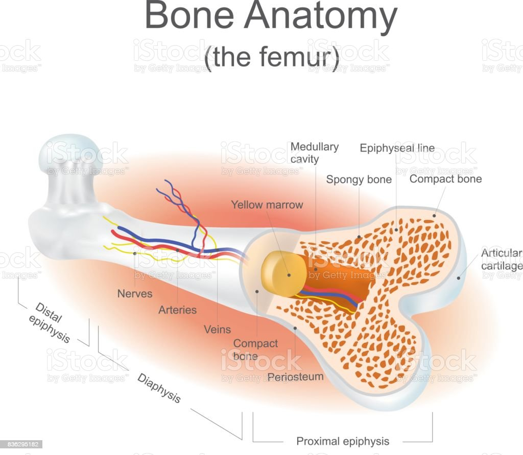 Bone Anatomy Stock Vector Art More Images Of Artery 836295182 Istock