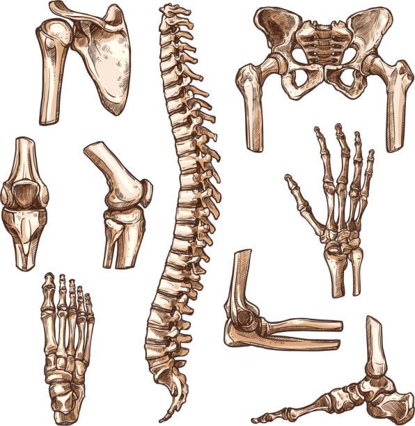stockillustraties, clipart, cartoons en iconen met bot- en gewricht van menselijk skelet schets set - arm lichaamsdeel