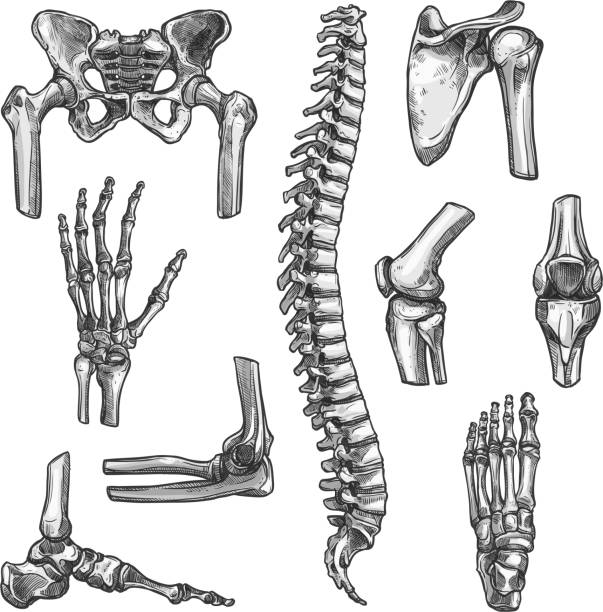 Bone and joint sketches set for medicine design Bone and joints sketches set. Human skeleton hand, knee and shoulder, hip, foot, spine, leg and arm, finger, elbow, pelvis, thorax, ankle, wrist icon for orthopedics and rheumatology medicine design medical illustrations stock illustrations