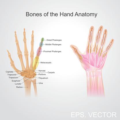 Bone of the hand anatomy.