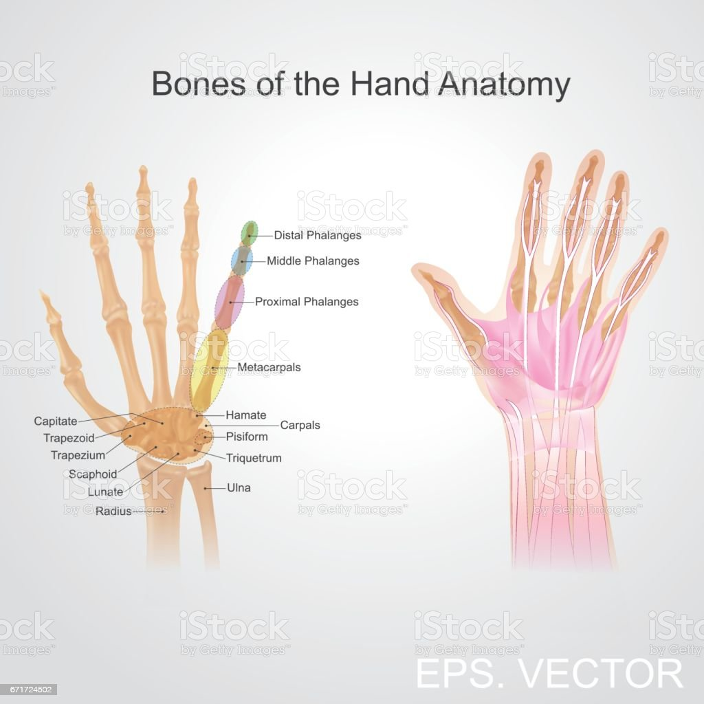 Bone of the hand anatomy. vector art illustration