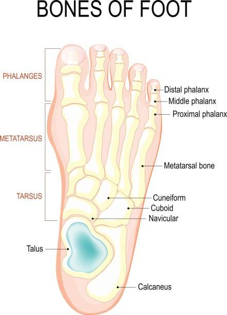 Royalty Free Foot Bone Clip Art Vector Images Illustrations Istock
