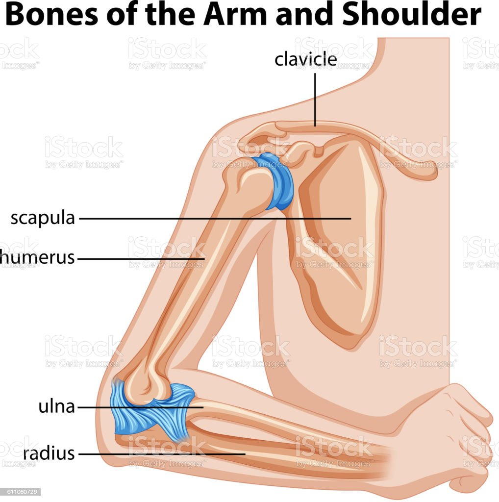 Bones Of The Arm And Shoulder Stock Vector Art & More Images of ...