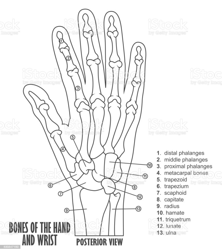 Bones Of The Hand And Wrist Anatomy Stock Vector Art More Images