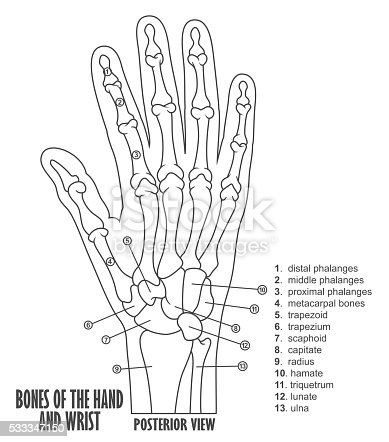 hand anatomy coloring pages - photo#38