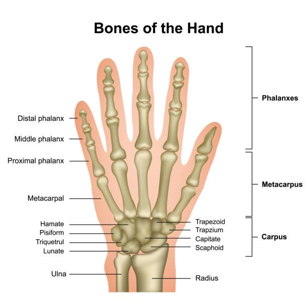 kości dłoni medycznej ilustracji wektorowej wyizolowanej na białym tle - ludzkie części ciała stock illustrations