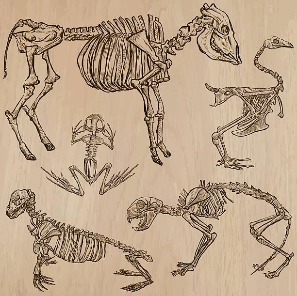 bones, skulls, skeletons - freehands, vector - animal skull stock illustrations