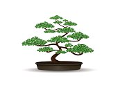 bonsai plant in the pot