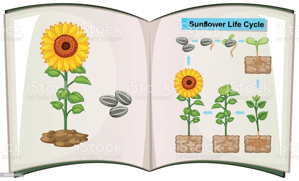 Book Showing Diagram Of Sunflower Life Cycle Stock Vector Art & More ...