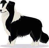 Border Collie dog black and white