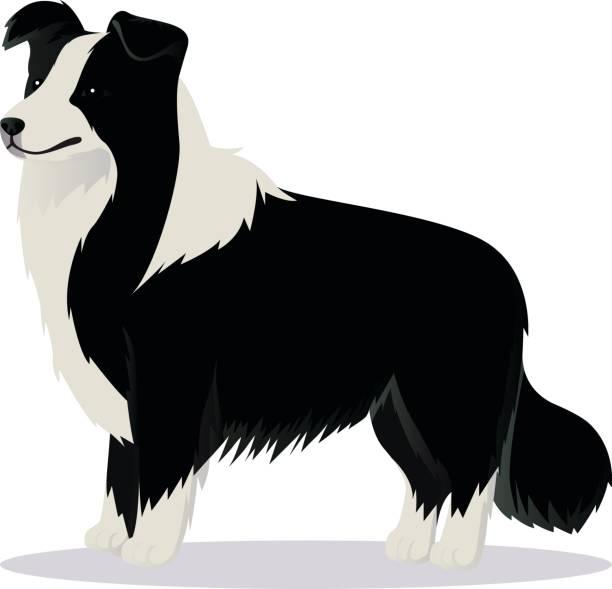 border collie hund schwarz / weiß - collie stock-grafiken, -clipart, -cartoons und -symbole
