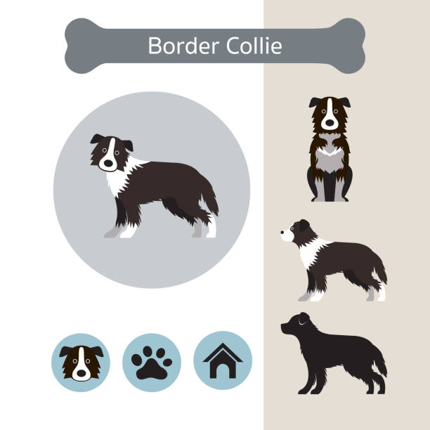 border-collie hunderasse infografik - collie stock-grafiken, -clipart, -cartoons und -symbole