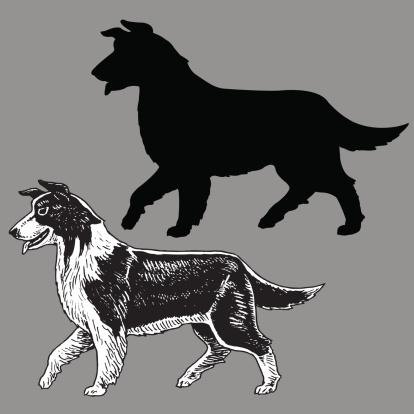 Border Collie Dog - Herding