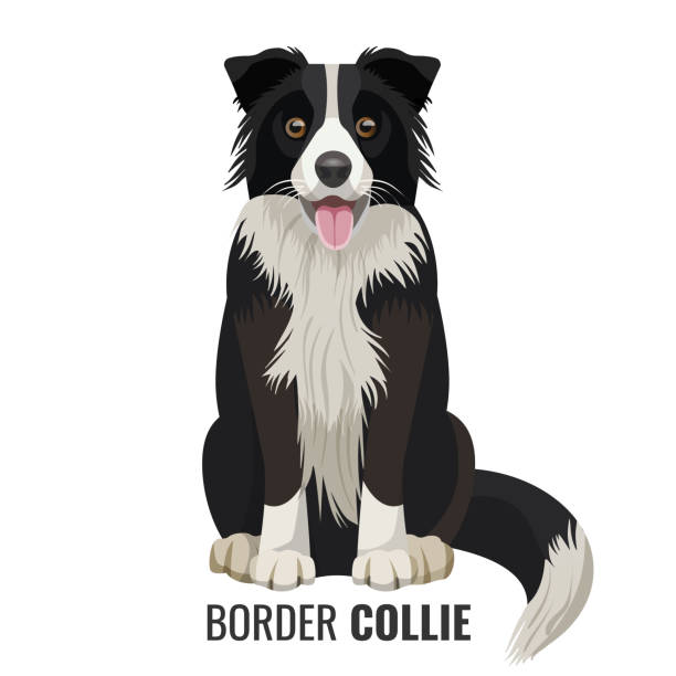 Border Collie pet isolated on white vector illustration Border Collie pet sits isolated on white with its name below vector illustration. Big domestic realistic dog with open mouth sheepdog stock illustrations