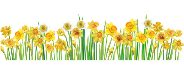 Border with multicolor vector daffodilses Border with multicolor vector daffodilses over white background daffodil stock illustrations