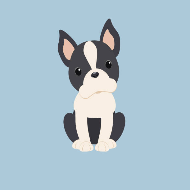 543 Boston Terrier Illustrations Clip Art Istock