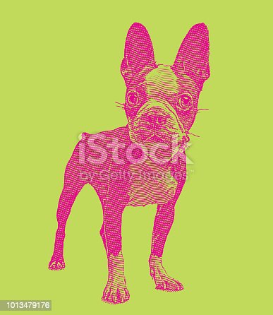 istock Boston Terrier dog in animal shelter hoping to be adopted 1013479176