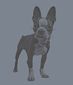 Engraving illustration of a Boston Terrier dog in animal shelter hoping to be adopted
