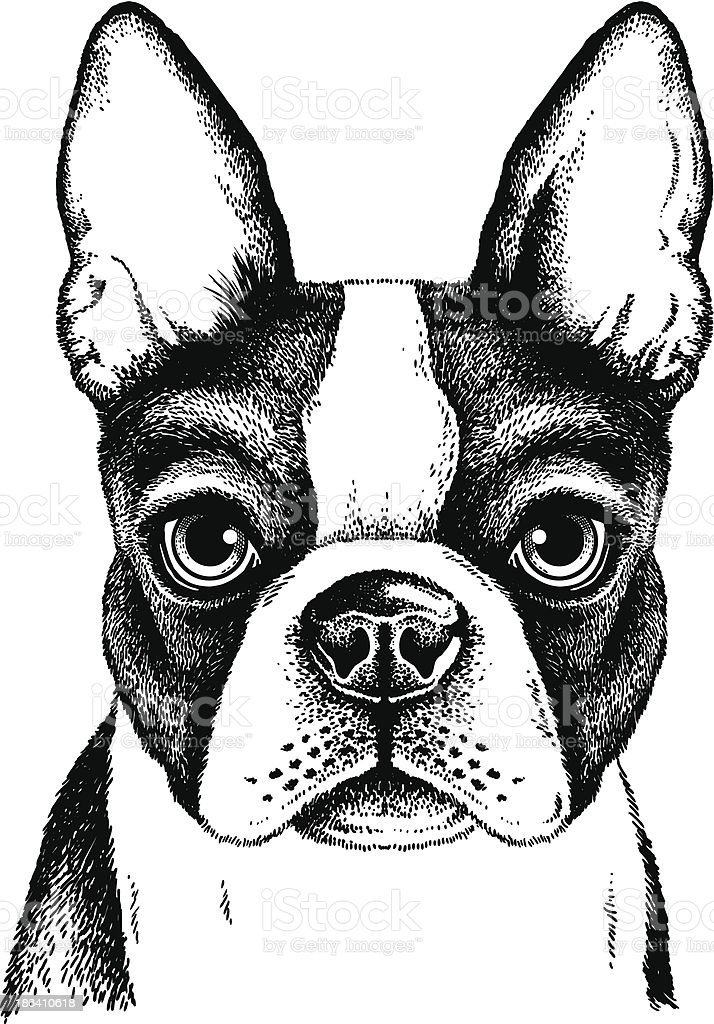 Boston Terrier Face vector art illustration