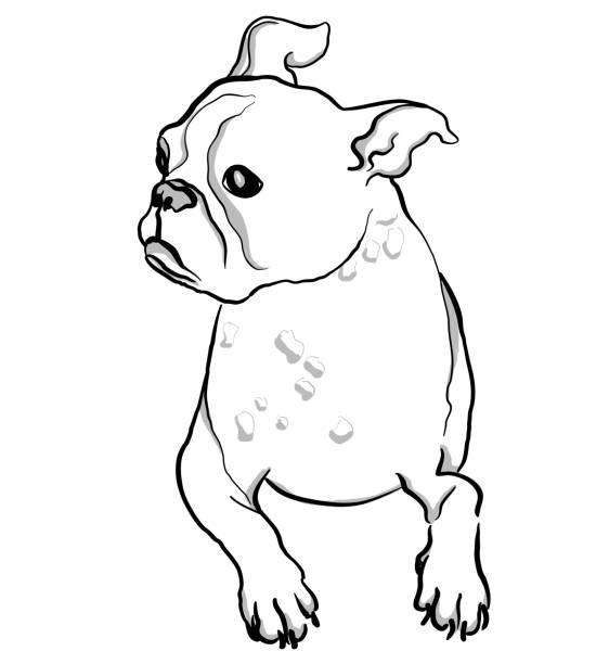 Boston Terrier Sketch vector art illustration