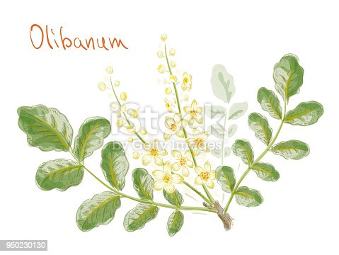 istock Boswellia sacra (commonly known as frankincense or olibanum-tree) flowers with leaves 950230130