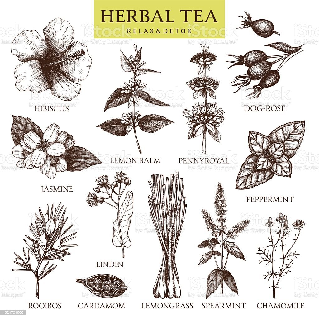 Botanical collection of hand drawn herbal tea ingredients. vector art illustration