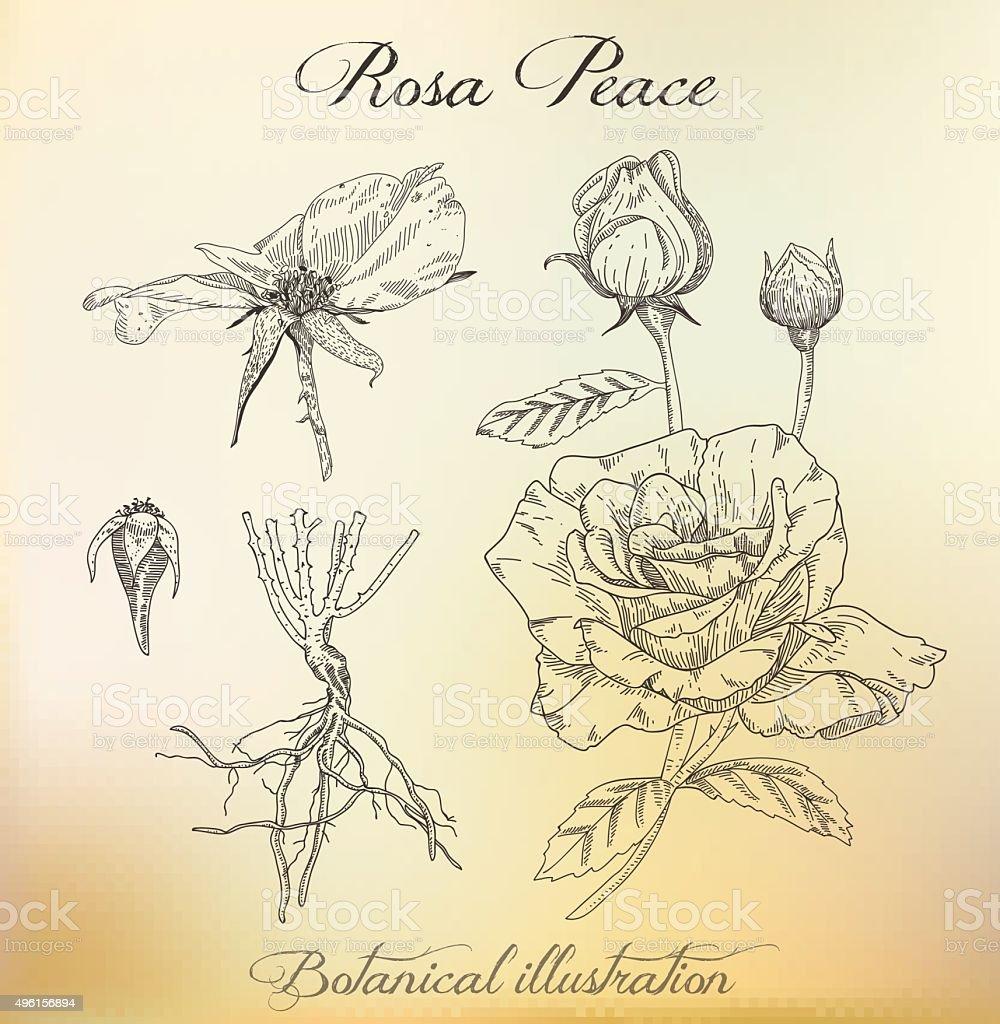 Botanical illustration. Dashed outline of  plant. Rose. vector art illustration
