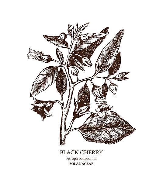 bildbanksillustrationer, clip art samt tecknat material och ikoner med botanical illustration of belladonna flower - amaryllis
