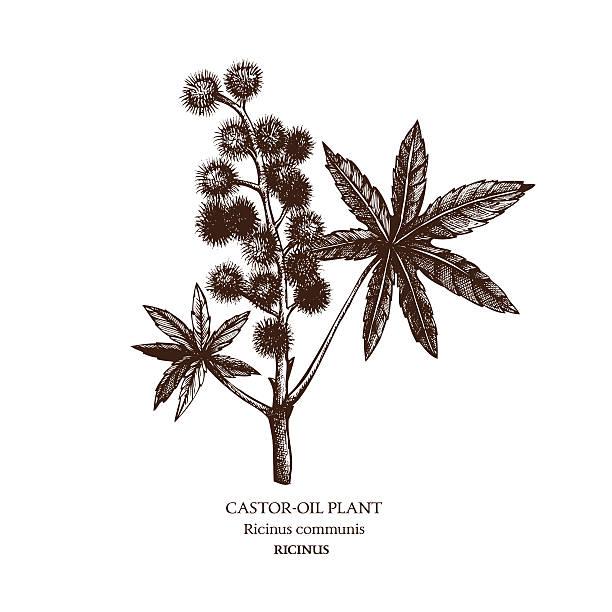 botanische illustration eines rizinusöl plant. - wunderbaum stock-grafiken, -clipart, -cartoons und -symbole