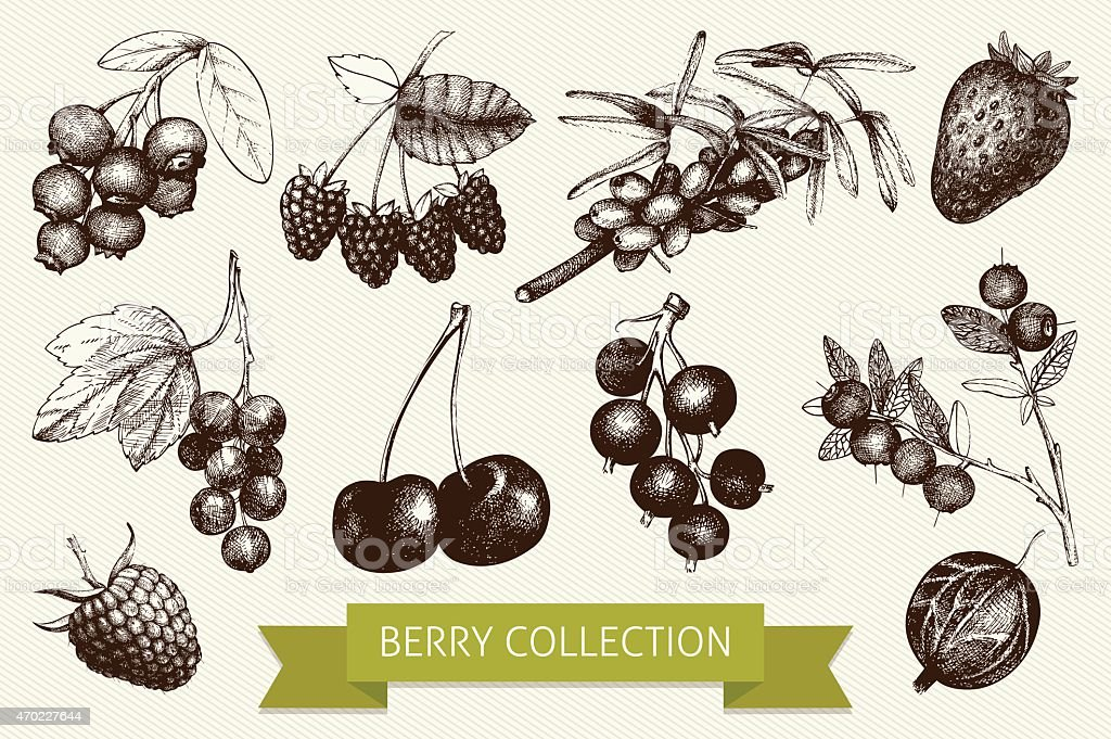 Botanical illustration of engraved berry vector art illustration
