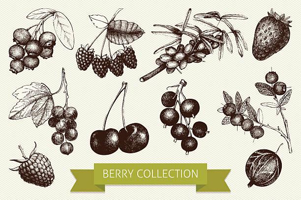ilustraciones, imágenes clip art, dibujos animados e iconos de stock de botanical ilustración de las marcas berry - arándano rojo fruta baya