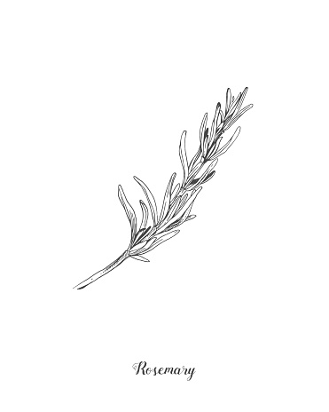 Botanical illustration of the Rosemary branch. Isolated on white background. Hand drawn vector illustration. Retro style. Great for tea packaging, label, icon, greeting cards, decor