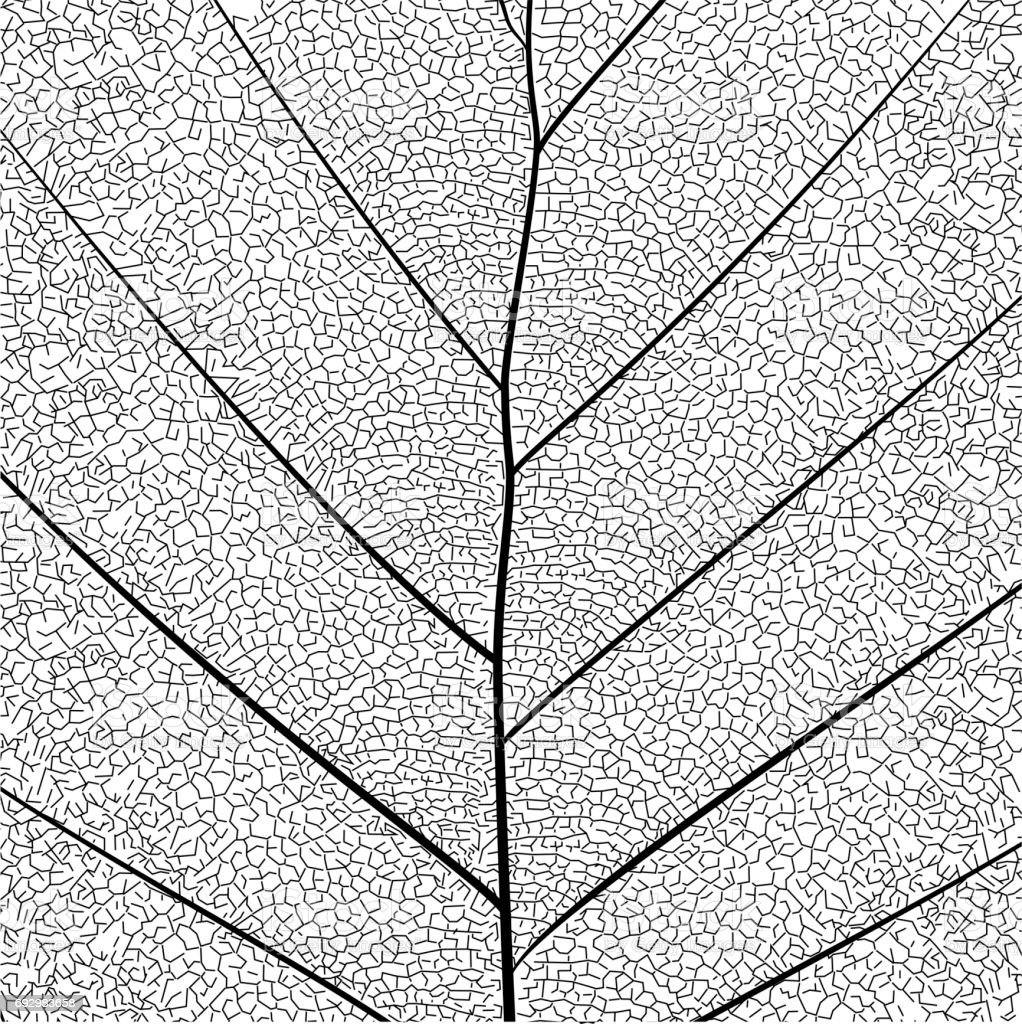 Botanical series Elegant detailed Single leaf  structure in sketch style black and white on white background - Векторная графика Белый роялти-фри