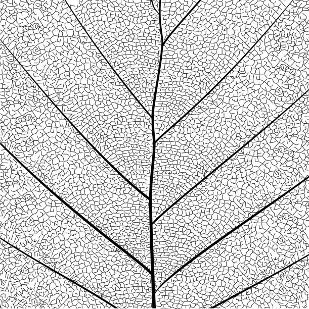 botanical series elegant detailed single leaf  structure in sketch style black and white on white background - крупный план stock illustrations