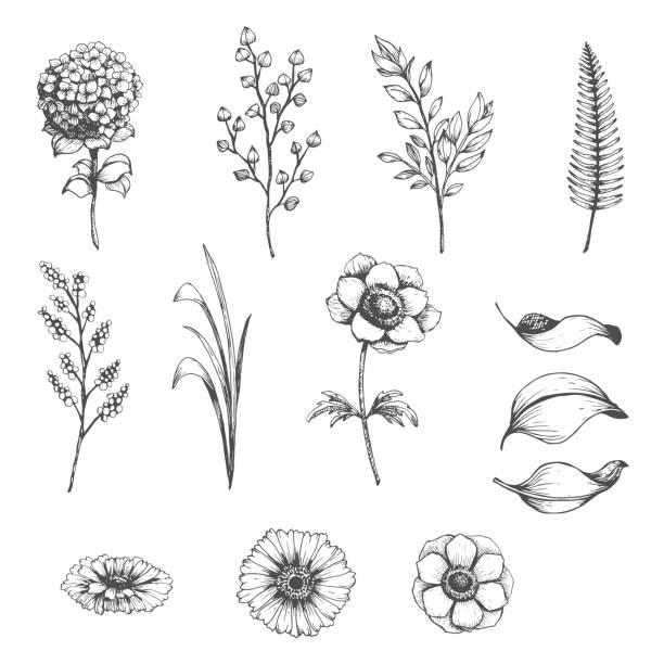 stockillustraties, clipart, cartoons en iconen met botanische set schets bloemen - hortensia