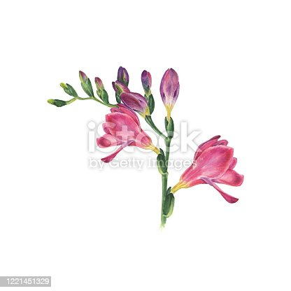 istock Botanical watercolor vector illustration of freesia on white background. Could be used web design, polygraphy or textile 1221451329