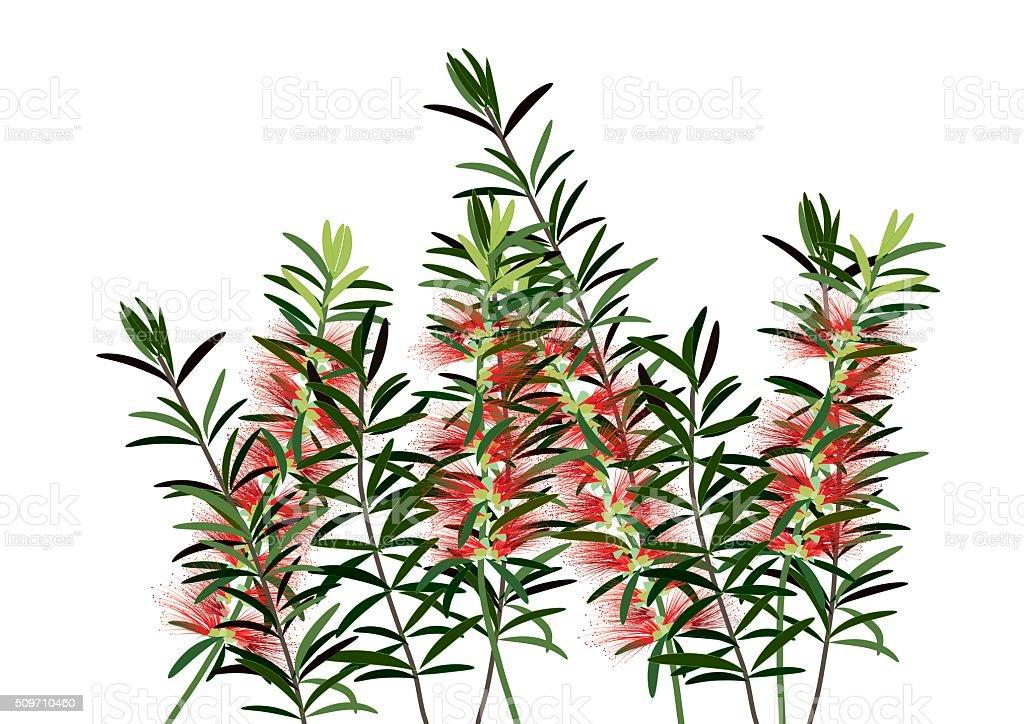 bottle bruch flower or red  callisemon flower vector art illustration