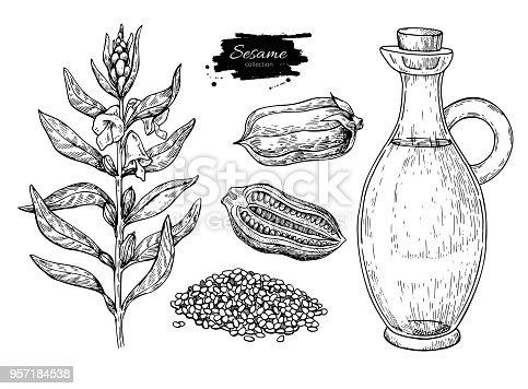 Bottle of sesame oil with plant and seed. Vector Hand drawn illustration. Glass pitcher vintage engraving isolated on white background. Great for menu, banner, label, logo, flyer