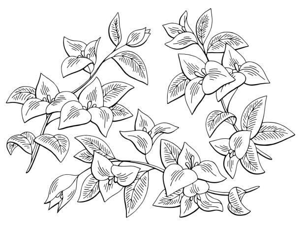 Ilustración de dibujo aislado blanco negro gráfico flor buganvilla establece vector - ilustración de arte vectorial